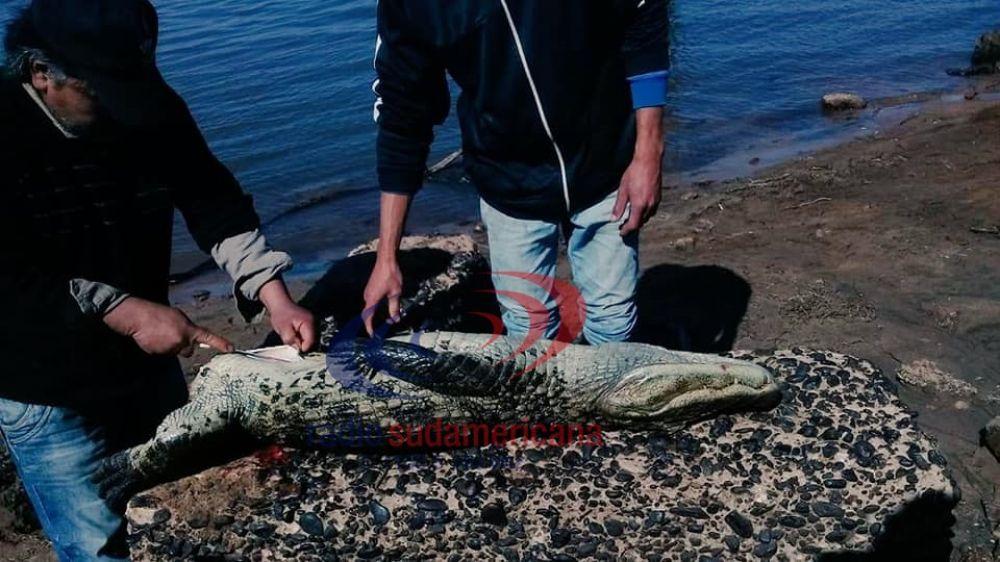 Indignante: asesinaron a un yacaré en una playa de Corrientes