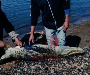 foto: Indignante: asesinaron a un yacaré en una playa de Corrientes