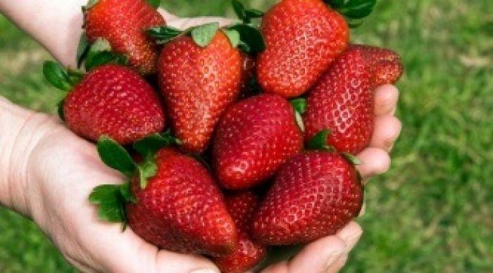 El precio de las frutillas bajó a la mitad en menos de tres semanas