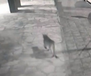 foto: Increíble: un puma se paseó en pleno centro de Bariloche