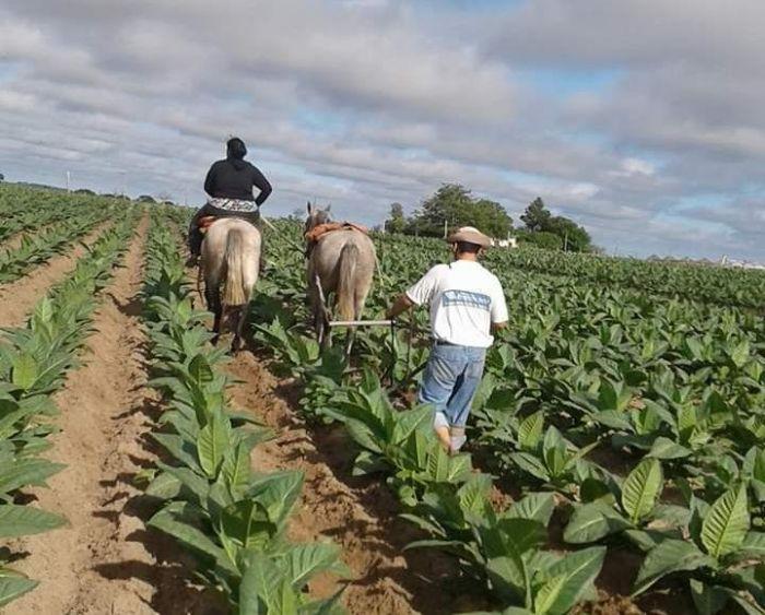 Corrientes: pagan $27 millones a tabacaleros del Plan Componente 2