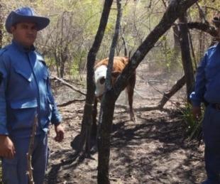 foto: Chaco: robaron una vaca y apareció a 15 kilómetros de distancia