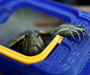 foto: Una tortuga detiene el tráfico aéreo en un aeropuerto de Japón