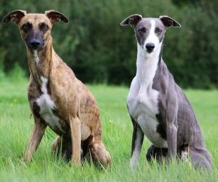 foto: Carrera de galgos: una aberración de la que es víctima el perro de los faraones